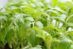 Саженцы весны зеленый цвет предпосылки флористический Детеныши, который выросли в gree Стоковое Изображение RF