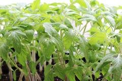 Саженцы весны зеленый цвет предпосылки флористический Детеныши, который выросли в gree Стоковая Фотография RF