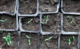 Саженцы в баках дома Предыдущие саженцы, который выросли от семян в коробках дома на windowsil зелено вне почва сеянца стоковые фотографии rf
