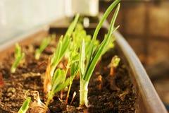 Саженцы зеленого лука Стоковая Фотография RF