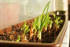 Саженцы зеленого лука Стоковое Изображение RF