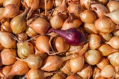 Саженцы лука при один красный лук стоя вне против желтых луков Стоковое фото RF