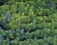 Саженцы молодых сосен Стоковые Фотографии RF