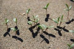 Саженцы на песчанной дюне Стоковые Изображения RF