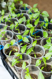 Саженцы перца растя в баки Стоковое Изображение
