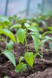 Саженцы перца растя в парнике Стоковое Изображение