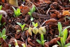 Саженцы приходя вне в предыдущую весну Стоковая Фотография RF