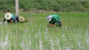 Саженцы риса трансплантата фермеров сток-видео