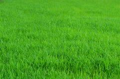 Саженцы риса Стоковое Изображение