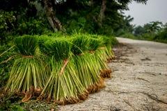Саженцы риса Стоковые Изображения RF