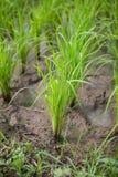 Саженцы риса Стоковое Фото