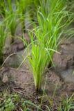Саженцы риса Стоковая Фотография