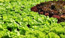 Саженцы салата в поле Стоковые Изображения RF