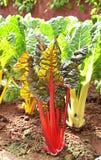Саженцы салата в поле Стоковая Фотография