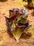 Саженцы салата в поле Стоковое Изображение