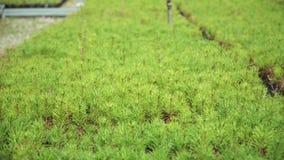 Саженцы сосны Молодая сосна снимает расти в большом парнике видеоматериал