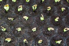 Саженцы тыквы в подносах стоковое изображение