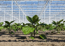 Саженцы Courgette растя в крупном плане парника Стоковые Фото