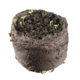 Саженцы Dicot при 2 зеленых листь семядоли изолированного на белой предпосылке Саженец snapdragon Стоковые Изображения