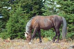 Сажный покрашенный жеребец Palomino дикой лошади пася в ряде дикой лошади горы Pryor в Монтане Стоковая Фотография RF