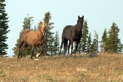 Сажный Palomino и черные дикие лошади жеребцов на гребне в дикой лошади гор Pryor выстраивают в ряд в Монтане США Стоковое Изображение RF