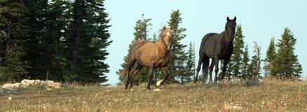 Сажный Palomino и черные дикие лошади жеребцов на гребне в дикой лошади гор Pryor выстраивают в ряд в Монтане США Стоковые Фотографии RF