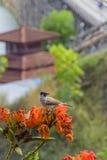 Сажн-головая птица Bulbul с предпосылкой моста понедельника Стоковое Изображение RF