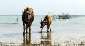 Сайгон/Вьетнам март 2015: Семья индийского буйвола Стоковое Изображение RF