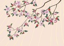 Сакура, весна, Стоковая Фотография