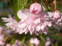 Сакура весной Стоковые Изображения