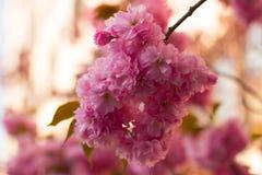 Сакура Вишневые цвета Япония стоковое изображение