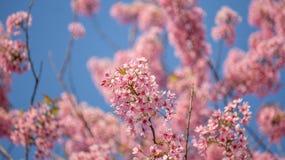 Сакура Вишневый цвет в весеннем времени Стоковая Фотография