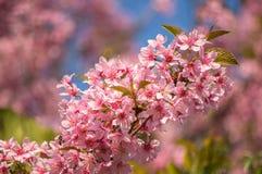 Сакура Вишневый цвет в весеннем времени Стоковое Изображение