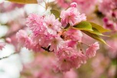 Сакура Вишневый цвет в весеннем времени Стоковое фото RF