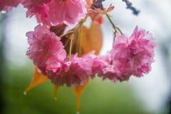 Сакура Вишневый цвет в весеннем времени Стоковое Изображение RF