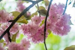 Сакура Вишневый цвет в весеннем времени Стоковые Изображения RF