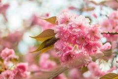 Сакура Вишневый цвет в весеннем времени Стоковое Фото