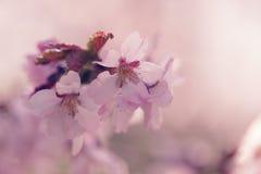 Сакура в конце цветеня вверх по фото, тонизированному фото Стоковые Фото