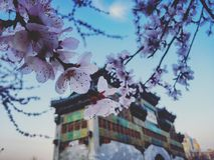 Сакура в Пекине стоковое изображение