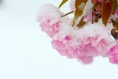 Сакура в снежке Стоковое фото RF