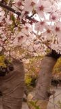 Сакура в стране Японии Стоковые Фотографии RF