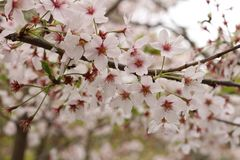 Сакура в стране Японии Стоковое Фото
