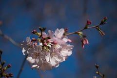 Сакура зацветает во всем мире стоковое фото
