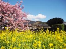 Сакура зацветая красиво в Izu Kawazu Японии весной стоковые фотографии rf