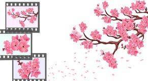 Сакура изогнутые ветви вишневого дерева с малыми цветками и бутонами и концом-вверх вишни Рамки для фотографического фильма Стоковая Фотография RF