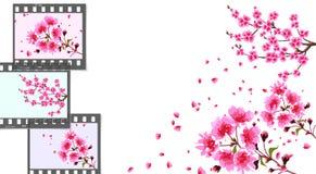 Сакура изогнутые ветви вишневого дерева с фиолетовыми малыми цветками и бутонами и концом-вверх вишни Рамки на различной Стоковые Фотографии RF