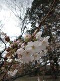 Сакура - начало сезона вишневого цвета в Японии Стоковое фото RF