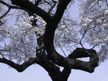 Сакура с завивая ветвью стоковое изображение rf