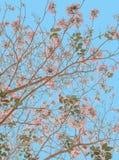 Сакура с предпосылкой голубого неба Стоковое Изображение RF