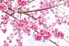 Сакура Таиланда Стоковое Изображение